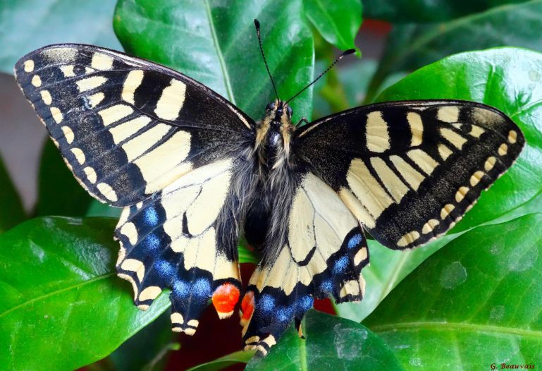 Machaon N°848
